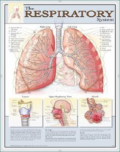 Laminated Respiratory System Poster/Chart - Off The Wall Toys and Gifts