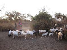 [Massai Gemeinschaft]: Vor Sonnenuntergang werden die Ziegen und Schafe in ihre sichere Einzäunung zurückgetrieben und gemolken. Sind auch wirklich alle da? SOCIALTOURIST - Urlaub mit sozialer Verantwortung - Kenia - Kenya