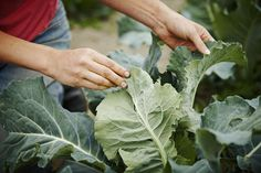 How to Grow Kale in the Home Vegetable Garden
