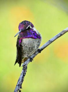 Male adult Costa's hummingbird