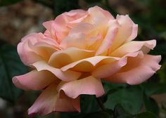 'Chicago Peace' rose by suey_j, via Flickr