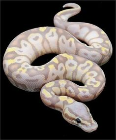 Constrictors Unlimited- Python regius -Super Pastel Banana Ball Python-Available Now