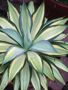 By grasses Foxtail Agave - Agave attenuata variegata offers colorful variegated foliage with leaves boldly patterned in yellow. It's slower growing than the plain-green form and can reach 4 feet tall and wide.