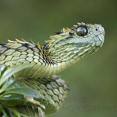 22 Pics of the Coolest Poisonous Snake in the World - the Af. - 22 Pics of the Coolest Poisonous Snake in the World – the African Bush Viper – Wow Gallery Pretty Snakes, Cool Snakes, Colorful Snakes, Beautiful Snakes, Animals Beautiful, Cute Reptiles, Reptiles And Amphibians, African Bush Viper, Unique Animals