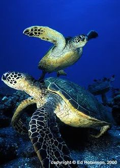 Go behind the scenes at the Aquarium and see visit the Sea Turtle Hospital! Your Home Base for Adventure Reptiles, Beautiful Creatures, Animals Beautiful, Cute Animals, Wild Animals, Sea Turtle Pictures, Baby Sea Turtles, Turtle Swimming, Turtle Love
