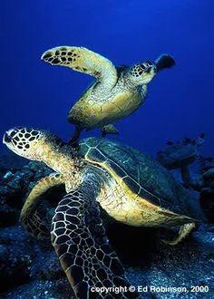 sea turtles = amazing
