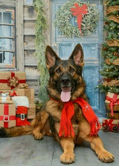 dog dogs Germanshepherd shepherd cool Christmas cute nice