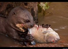 Giant Otter Eating Fish (Pteronura brasiliensis) HABITUATED. Part of Karanambu Otter Trust to be reabilitated. Savannah. Rupununi. GUYANA. South America. RANGE: Orinoco, Amazon, and Guianas river systems. IUCN: ENDANGERED SPECIES