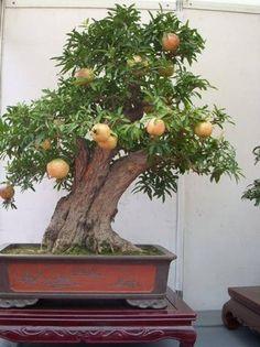 Cây lựu Bonsai - P.1