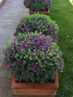53 Best Evergreen Shrubs Images Evergreen Shrubs Shrubs Plants