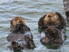 """Sea Otters in Sitka, Alaska"" ~ Photo by Mark Kelley Sitka Alaska, Alaska Usa, Marine Ecosystem, Alaskan Cruise, Marine Biology, Alaska Travel, Animals Of The World, Otters, Animal Kingdom"