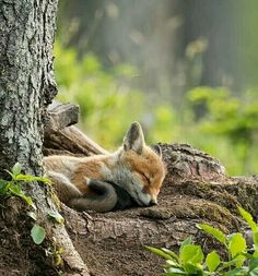 Sleeping fox...                                                                                                                                                                                 More