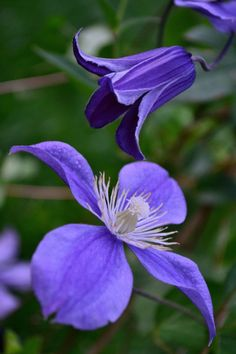'Arabella' and 'Rooguchi' Clematis