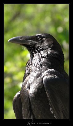 Raven by Crooty on deviantART