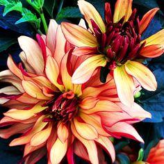 Dahlia  http://luminousvoyage.blogspot.com/