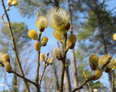Ιτιά (Salix Cortex) Fruit, Food, Essen, Meals, Yemek, Eten