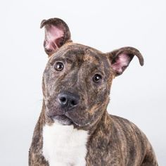 8/13/16 Joy - URGENT - Dekalb County Animal Shelter in Decatur, Georgia - ADOPT OR FOSTER - 1 year old Female Am. Pit Bull Mix - Joy is a happy go lucky one year old wiggleworm who can't wait to do zoomies around the backyard and cuddle up next to you at night. She is short, stout, and totally adorable! She loves to play and can't wait to have a family to entertain with her goofy personality. Her adoption includes her spay, microchip, vaccinations, and more!