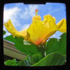 Heavenly Hibiscus Fine Art Photo $5 by FayeKilday on #zibbet