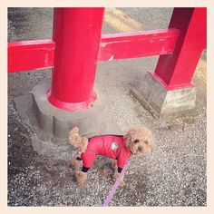 おそろ #toypoodle - @sakkn- #webstagram