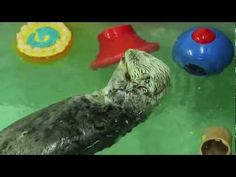 Sea Otter Awareness Week is in September. Check out Chicago's Shedd Aquarium celebrated!