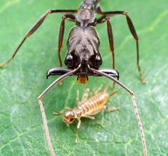 A trap-jaw ant stalks a young cricket.  Odontomachus are large, conspicuous ponerine ants found in the tropics and subtropics worldwide.  These predatory insects are noted for their unusual mandibles, which are held open at 180º and snap shut on a hair trigger.  It only takes 0.13 of a millisecond (2,300 times faster than a blink of an eye) to attack & eat its prey!!!