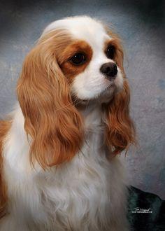 50 Cute Puppies I Adore cavalier love Hunde, Kleine