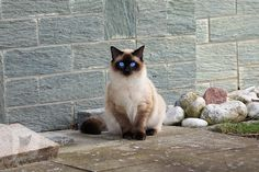 Cute Kittens, Cats And Kittens, Common Cat Breeds, Cat Merchandise, Birman Cat, Domestic Cat, Pretty Cats, Siamese Cats, Stuffed Animals