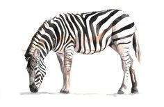 Zebra watercolor Painting - Z035-  Print of watercolor painting 5 by 7 print. $15.00, via Etsy.