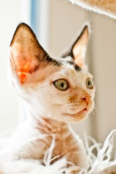 devon rex. !!!! this is what i want my future cat to look like!!!! so precious