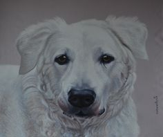 Kuvasz -oil on canvas 100x120 cm