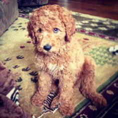 Golden doodle! I have to have one!