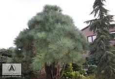 Pinus jeffreyi 'Joppi' . De hoogte na 10 jaar is 125 cm. Сосна жоффрея Юппи Дорастает до 4м. Форма пирамидальная, компактная. Хвоя очень длинная, мягкая, голубя. Хорошо растет на сухих почвах и на солнечном месте.