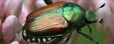 metallic beetle on land - Google Search