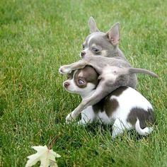 Chihuahua Care - 5 Important Issues Every Owner Should Know - Dog Pets Zone Chihuahua Puppies, Cute Puppies, Dogs And Puppies, Chihuahuas, Cute Baby Animals, Animals And Pets, Funny Animals, Yorshire Terrier, Little Dogs