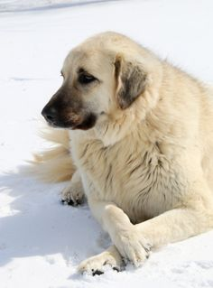 Bella, our female Anatolian Shepherd. She's always such a lady crossing her front paws! {FYI: for those interested in livestock guardians, Anatolians are hard to beat.}