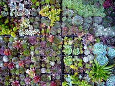Living Walls - A Succulent Idea... See today's post and everything else trending in the garden world at gardentrending.com      #Succulant #livingwall #gardentrending