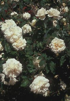 'Madame Alfred Carriere' vigorous climber; white/lightest pink - Children of the Corm: A Charleston Garden Blog: 10 Shade Tolerant Roses