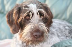 German Wirehaired Pointer.... Oh German dogs and their beards! Too cute:)