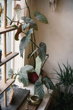 "Enkelin siipi ""Angel wing begonia"" Begonia corallina (Oko gallery // by The Weaver House)"