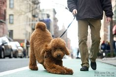 Just look at this puffy dog on the streets of Manhattan!