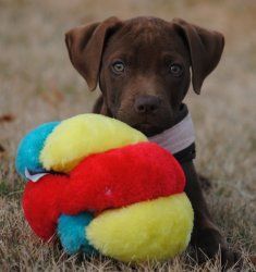 Lucky is an adoptable Rhodesian Ridgeback Dog in Rome, GA. Lucky is one in a litter of 10 pups. Her mother is a purebred chocolate labrador and her father is a purebred Rhodesian Ridgeback. She was bo...
