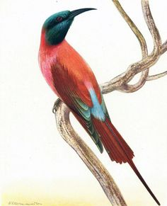 Guêpier carminé Planche Originale Ancienne Couleur 50s Oiseaux de Paradis Oiseaux Tropicaux Illustration de la boutique sofrenchvintage sur Etsy
