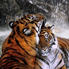 Tiger ~ Sensuality,  Beauty, Passion