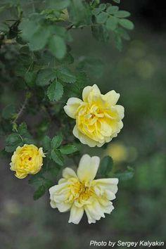 Rosa Williams Double Yellow днократно цветущая, можно использовать в качестве почвопокровного растения, может расти на бедных почвах, теневыносливая, подходит для живых изгородей и выращивания в контейнерах, ограниченно доступна в продаже. 120 х 90 см. Зона 3b.