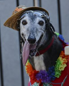 11 Interesting Facts About Greyhounds! Useful and funny!