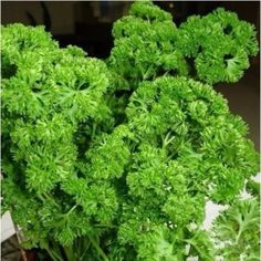 In-Stock and Ships within 24-hours Fast Delivery - Within 5-10 business days 96% reviewers recommend this product 100% Money Back Guarantee Grow your own parsley with these Parsley Vegetable Seeds. Each pack contains 100 seeds. Highlights: - Full-bloom Period: Summer - Type: Blooming Plants - Applicable Constellation: Aquarius - Flowerpot: Excluded - Cultivating Difficulty Degree: Very Easy - Function: Interest - Use: Outdoor Plants - Style: Annual - Climate: Temperate - Location: Courtyard - Mo Parsley Growing, Parsley Plant, Blooming Plants, Edible Garden, Grow Your Own, Outdoor Plants, Fall Season, Bonsai, Perennials