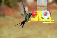 Kolibri, Colibri, Vogel, Tierwelt