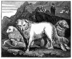 Predator Friendly Ranching ...: Musings on LGD --- wolf dogs of the abruzzi Just about every country or region has a sheep dog that would protect the flocks from harm.