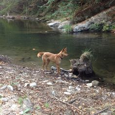 American Indian Dog (AIdog) playing on the river
