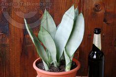 Sansevieria trifasciata moonshine